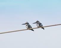 pied gambia kingfishers Fotografering för Bildbyråer