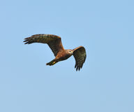 Pied Harrier Royalty Free Stock Photos