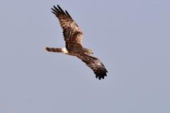 Pied Harrier Hawk Stock Images