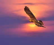 Pied Harrier Stock Photography