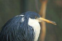 Pied heron. The detail of pied heron Royalty Free Stock Photos