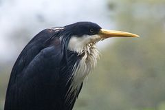 Pied Heron Royaltyfri Fotografi