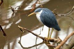 Pied Heron - Ardea picata Royalty Free Stock Photos