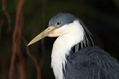 Pied Heron. A Pied Heron, native to both Australia and Papua New Guinea Royalty Free Stock Photos