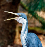Pied Heron Preen Royalty Free Stock Images