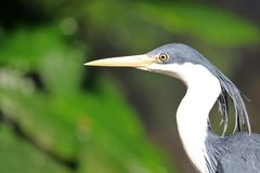 Pied Heron. Side view of a pied heron in Australia Royalty Free Stock Photos