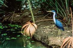 A Pied Heron stalks at the edge of forest pond stock photos