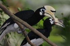 pied hornbill востоковедное Стоковая Фотография RF