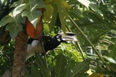 pied hornbill востоковедное стоковые изображения rf