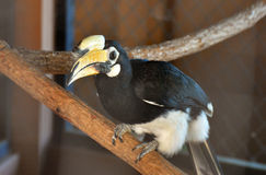 pied hornbill востоковедное Стоковое Фото