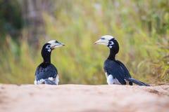 pied hornbill востоковедное Стоковое Изображение