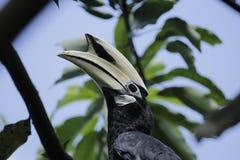pied hornbill востоковедное Стоковая Фотография