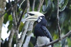 pied hornbill востоковедное стоковые изображения