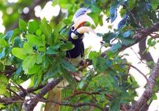 pied hornbill malabar Стоковое фото RF