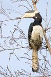 pied hornbill malabar Стоковое Изображение RF