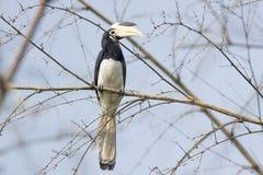 pied hornbill malabar Стоковая Фотография RF