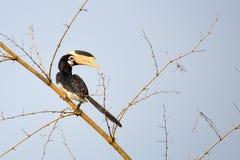pied hornbill malabar Стоковые Изображения RF