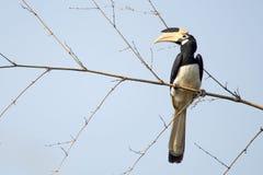 pied hornbill malabar Стоковое Фото
