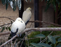 Pied Imperial Pigeon Stock Photos