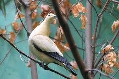 Pied imperial pigeon Stock Image