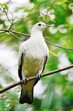 Pied Imperial Pigeon Royalty Free Stock Photography