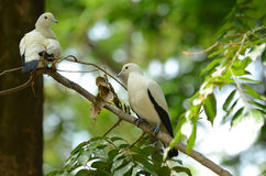 Pied Imperial Pigeon Royalty Free Stock Photos