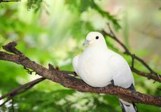 Pied Imperial Pigeon bird Stock Photography