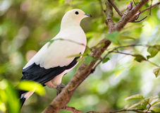 Pied Imperial pigeon bird Royalty Free Stock Photo