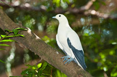 Pied Imperial Pigeon bird Stock Images