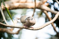 Pied imperial pigeon at Bloedel Conservatory stock images
