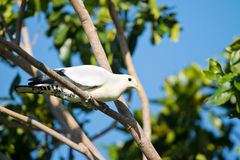 Pied Imperial Pigeon - Cairns, Australia. Pied Imperial Pigeon perching on a tree - Cairns, Australia royalty free stock photography