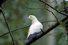 Pied Imperial Pigeon, Ducula bicolor Royalty Free Stock Photography