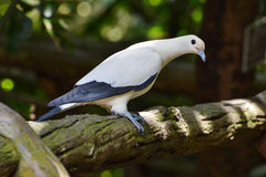 Pied imperial pigeon (Ducula bicolor). White Pied imperial pigeon (Ducula bicolor) perches alone Stock Images