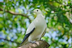 Pied imperial pigeon, Ducula bicolor, beautifull big white bird from Thailand. Pigeon in the habitat, sunny day in the green. Forest. Wildlife scene from nature stock photos
