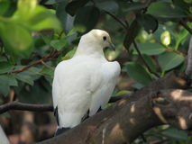 Pied imperial pigeon. Royalty Free Stock Photo