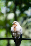 Pied Imperial Pigeon Royalty Free Stock Images