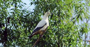 Pied imperial pigeon perched on a tree branch stock footage