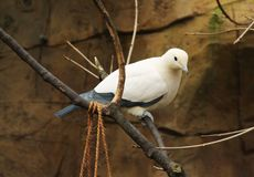 Pied imperial pigeon. Ducula bicolor sitting on the branch Royalty Free Stock Image