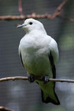 Pied imperial pigeon (Ducula bicolor). Stock Photography