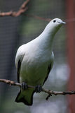 Pied imperial pigeon (Ducula bicolor). Royalty Free Stock Photos