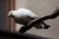 Pied imperial pigeon (Ducula bicolor). Stock Photos
