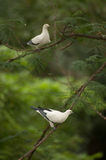 Pied imperial Pigeon perch on twig in park of Thailand. Royalty Free Stock Photo