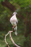 Pied imperial pigeon Stock Images