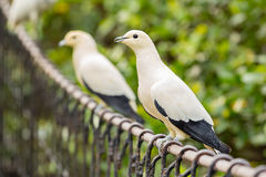 Pied imperial pigeon Royalty Free Stock Photo