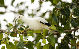 Pied imperial pigeon Stock Photography