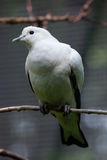 Pied imperial pigeon (Ducula bicolor). Royalty Free Stock Images