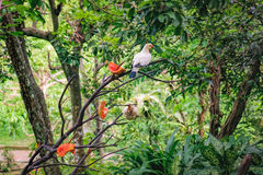 Pied Imperial Pigeons eating papaya Stock Image