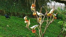 Pied Imperial Pigeons stock video footage