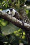 Pied kal-vänd mot tamarin, Saguinis bicolour bicolour, Royaltyfria Bilder