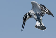 Pied Kingfiher Hovering Stock Photography